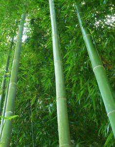 бамбук мадаке